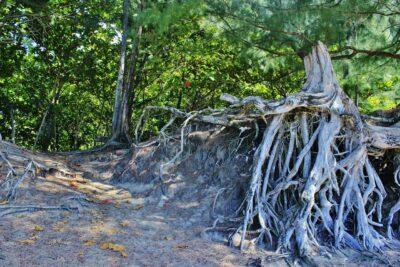root, tree root, hanalei